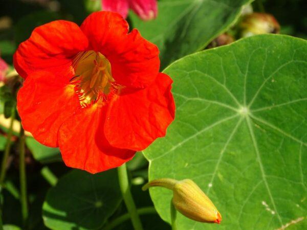 edible-flowers-2848245_1280