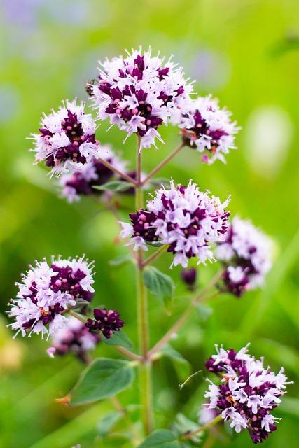oreganum vulgare greenlike